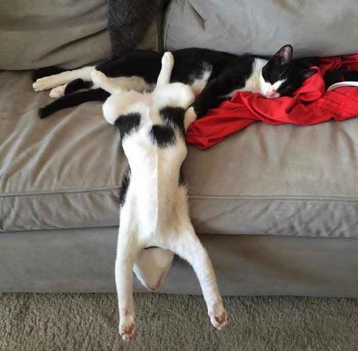 แมวขี้เกียจ